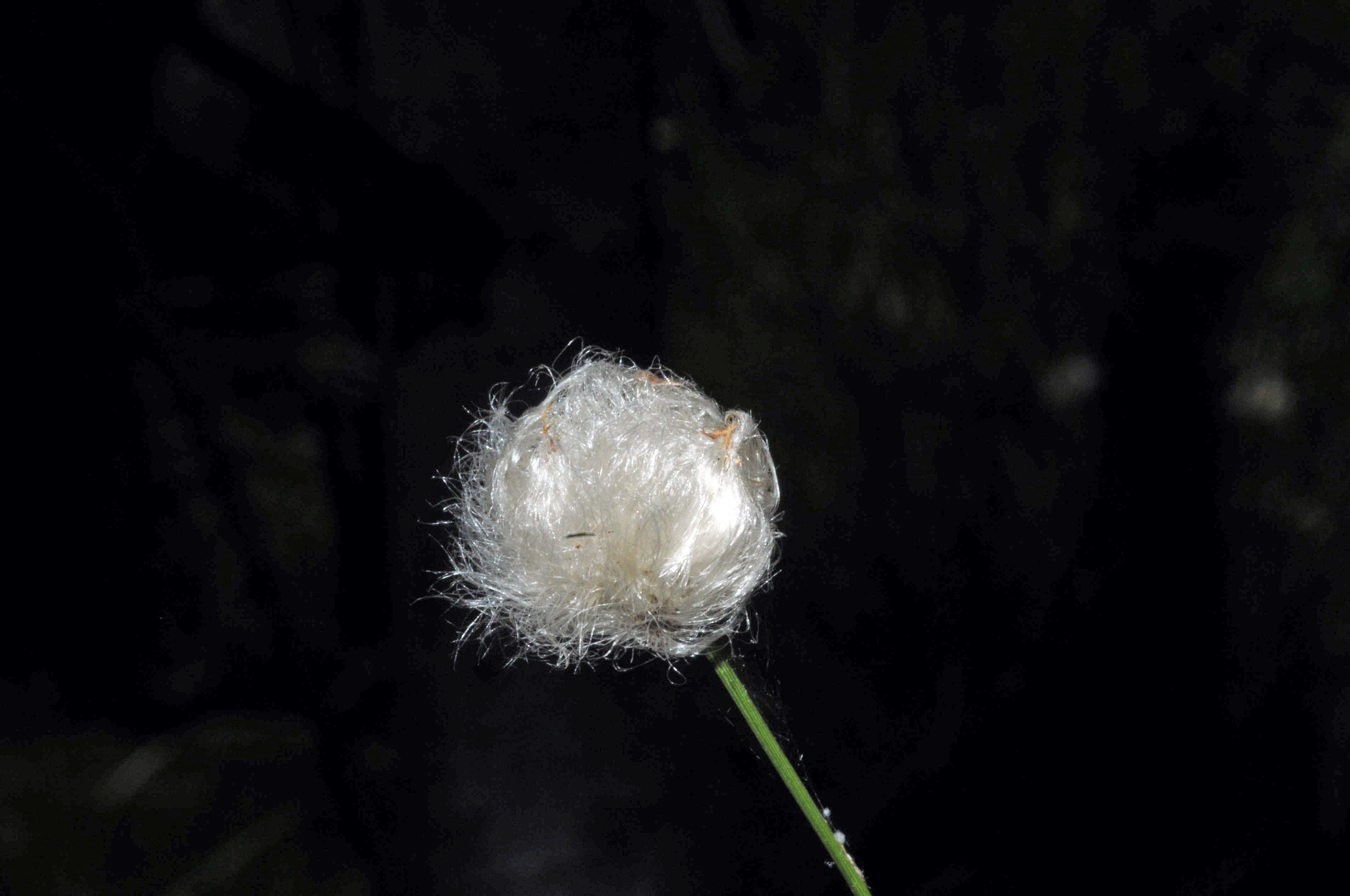 Scheiden- Wollgras  (Eriophorum vaginatum)